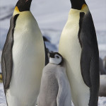 British Antarctic Survey: Harsh Antarctic Sea Ice Threatens Emperor Penguins With Starvation