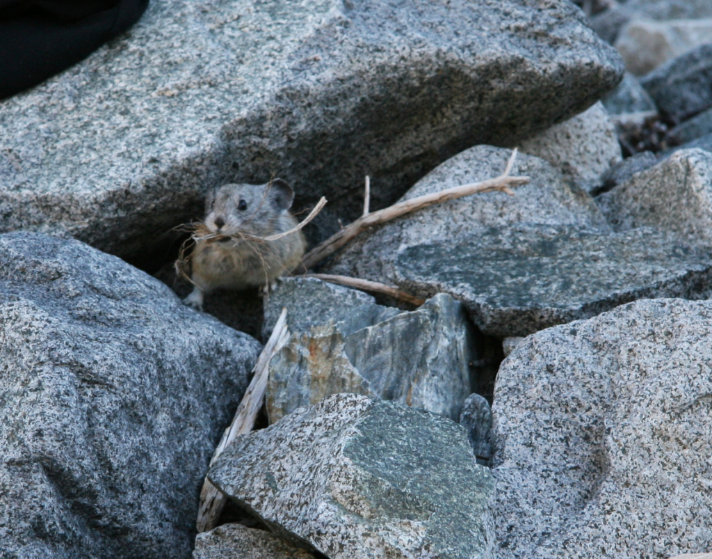 pika_haying_in_rocks