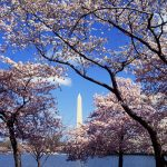 """WaPo Cherry Blossom Claims Refuted: """"Nothing But Lies And Statistical Manipulations""""!"""