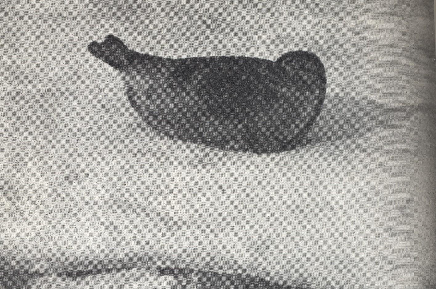 Seal- ringed
