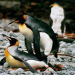 """Céline Le Bohec et al Doom-Filled Penguin Study Is One For The Birds...""""Climate Historical Myopia"""""""