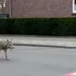 Since Nature Activists Brought The Wolf Back To Germany, Humans Threatened As Encounters Rise